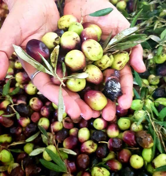 תיירות בגליל, פסטיבל ימי ענף הזית 2019, המלצה של רות